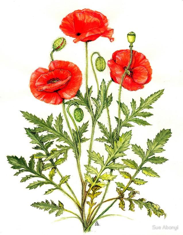 image: Poppy